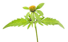 Three-lobe beggarticks or Bidens tripartita isolated on white background. Medicinal plant royalty free stock photography