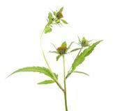 Three-lobe beggarticks or Bidens tripartita isolated on white background. Medicinal plant royalty free stock photo