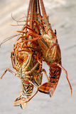 Three lobsters Royalty Free Stock Photography