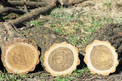 Three logs. Of acacia closeup royalty free stock image