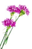Three lonely  pink carnation Stock Photos