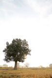 Three. Lonely tree in Issan, Northeastern Thailand Stock Images