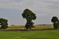 Three lonely tree in the middle of the field Royalty Free Stock Photos