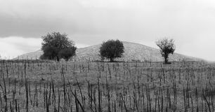 Three lonely trees on cultivated field ground on South Greece.  Royalty Free Stock Images