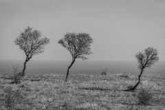 Three trees looking like Mom, Dad and I walk for a walk into the sea in black and white. background of three trees in cold winter. Three lonely trees overwhelmed Royalty Free Stock Photo