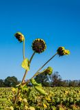 Three long green stems with dead sunflowers. There is a blue cloudless sky in the background. stock images