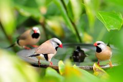 Three long-tailed finch birds royalty free stock images