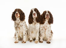 Three longhaired pointer dogs Stock Photography
