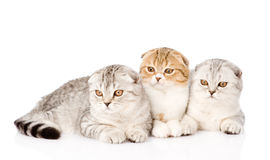 Three lop-eared scottish cats together. isolated on white Royalty Free Stock Images