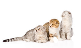 Three lop-eared scottish cats together looking away. isolated Royalty Free Stock Photography
