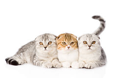 Three lop-eared scottish cats together looking at camera. isolated Royalty Free Stock Photos