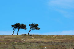 Three lopsided pine trees on blue sky background.  Royalty Free Stock Photos