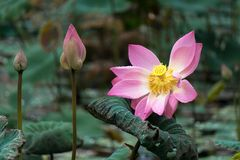 Three Lotus flower states, Pura Taman Sarawasti Temple, Ubud. royalty free stock photos