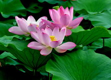 Three pink lotus flowers Royalty Free Stock Photos