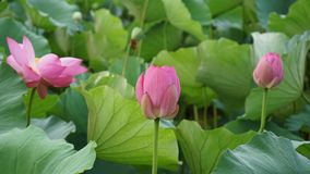 Three lotus flowers and bud are blosming in summer royalty free stock images
