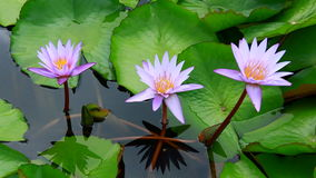 Three lotus in nature stock video footage