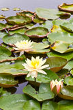 Three lotus yellow Royalty Free Stock Images