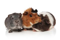 Three lovely guinea pigs playing. On white background, one lying under his friend Royalty Free Stock Images