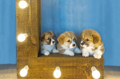 Three lovely puppies and the shining lamps. Royalty Free Stock Photo