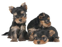 Three lovely puppies Royalty Free Stock Photos