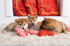 Three lovely shiba inu puppies are lying together on the floor with red hearts stock images