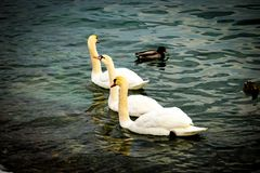Three lovely swans stock images