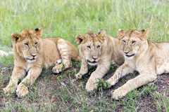 Three lovely young lion cub resting on the grass in the savannah Stock Photography