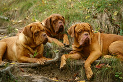 Three lying mastiffs. Stock Photos