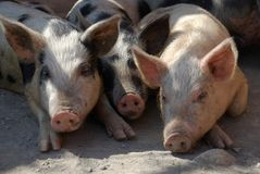 Three lying pigs stock images