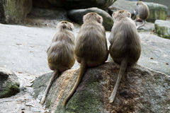 Three Macaque Monkeys Royalty Free Stock Photo