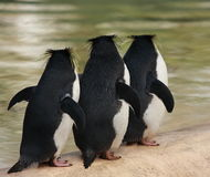 Three macaroni penguins Stock Photo
