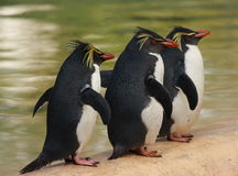Three macaroni penguins Stock Images