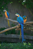 Three Macaws. On a branch Stock Photography