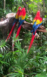 Three Macaws sitting on a branch. Three red, yellow, blue Macaws sitting on a branch - two together and one is separate with lush green foliage below them Royalty Free Stock Image
