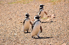 Three Magellanic penguins walking on a beach Stock Images