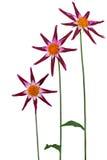 Three Magenta Dahlia Stock Photo