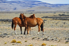 Three magnificent bay mustang Stock Image