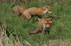 Three magnificent wild Red Fox Vulpes vulpes hunting for food to eat in the long grass. stock photography