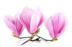 Three magnolia blossoms isolated on white Stock Images