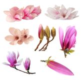 Three magnolia flowers Royalty Free Stock Images