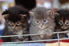 Three Main coon kitten. (few weeks old Stock Photo
