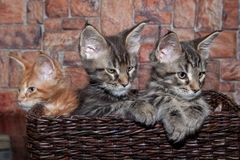 Three maine coon kittens are sitting in a wicker basket. stock photography