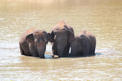 Three majestic indian elephants(Elephas maximus indicus) in lake Royalty Free Stock Images