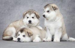 Three malamute puppies Stock Images