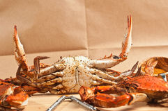 Three male, colossal Chesapeake blue claw crabs Stock Images