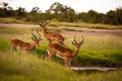 Three male impalas Stock Photos