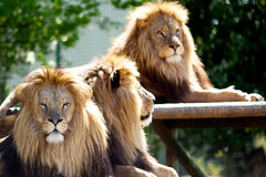 Three male Lions. Taking a break in the spring sun Royalty Free Stock Photos