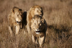Three Male Lions on the Masai Mara Stock Photos
