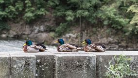 Three male mallard ducks in profile. Anas platyrhynchos. The group of beautiful plumed drakes sitting on a stone bank of a river. Cute colored water birds Royalty Free Stock Image