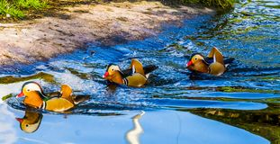 Three male mandarin ducks swimming in the water, tropical and colorful birds from Asia. Three male mandarin ducks swimming in the water, some tropical and stock image